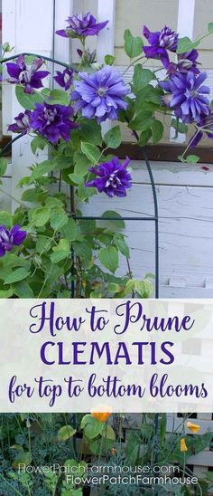 Flower Garden Prune Clematis to Refurbish and get Top to Bottom Blooms by Sofia.Art - Need to renovate your Clematis, want more blooms! Here you go, prune clematis for top to bottom blooms. Easy and rewarding. Outdoor Plants, Outdoor Gardens, Modern Gardens, Outdoor Flowers, Small Gardens, Clematis Vine, Flowering Vines, Plantation, Lawn And Garden