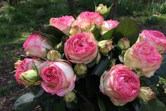 Ave Maria tros rozen
