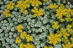 •Broadleaf Sedum | Sedum Spathulifolium Cape Blanco Sedum spathulifolium 'cape