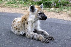 The spotted hyenas are yellow with dark spots and round ears.