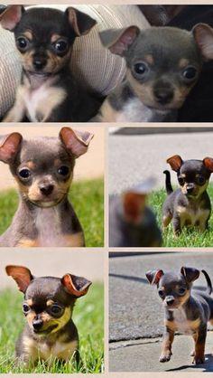 Baby Chihuahuas