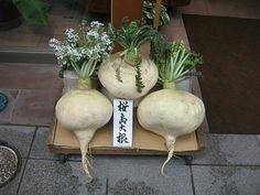 The Sakurajima radish or Sakurajima daikon