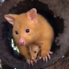 Nocturnal Animals, Rare Animals, Animals And Pets, Wild Animals, Cute Funny Animals, Cute Baby Animals, Baby Elephant Images, Baby Possum, Baby Animal Videos