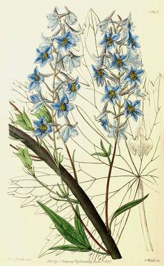 Delphinium elatum (1837).  | Wallace Gardens