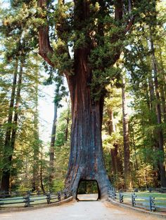 Secuoyas gigantes, California    This is a life goal. Im gonna drive THROUGH a tree someday :) ...and maybe even live in one for awhile?? haha I'm open to the possibility
