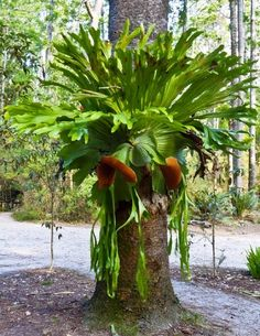 Platycerium, Tropical, Epiphytic Fern...unusual fern for the garden