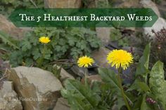 Who knew there were weeds that are actually healthy for you! Take a look of this list of 5!