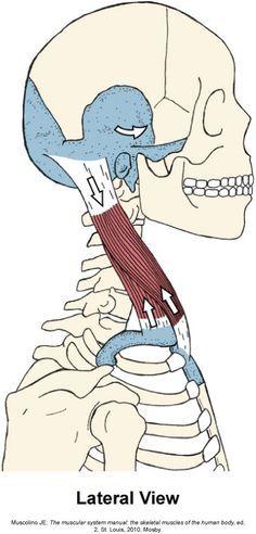 Yoga Anatomy, Anatomy Poses, Anatomy Drawing, Anatomy Art, Human Anatomy, Figure Drawing Reference, Anatomy Reference, Gross Anatomy, Muscle And Nerve