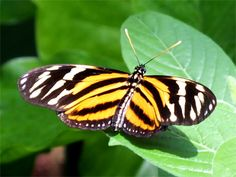 Tiger or Tiger Heliconian [Heliconius ismenius] is a butterfly ... Queen Butterfly Vs Monarch