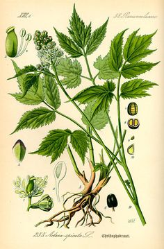 Actée en épi /Actaea spicata