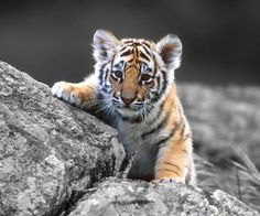 baby tiger wallpaper by dathys - - Free on ZEDGE™ Tiger Pictures, Baby Animals Pictures, Cute Animal Pictures, Animals And Pets, Funny Animals, Wild Animals, Nature Animals, Baby Animals Super Cute, Cute Little Animals