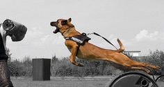 How amazing what K-9's and War dogs can do!!