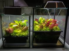 Recent rearrangements in my amp tank/July 2014 - at its best :-) - Page 2 - Carnivorous Plants in Cultivation - Carnivorous Plants UK