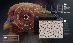 Hyperuniformity Found In Birds, Math And Physics Seven years ago, Joe Corbo stared into the eye of a chicken and saw something astonishing. The color-sensitive cone cells that carpeted the retina (detached from the fowl, and mounted under a...