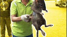 Eine riesige Ratte versetzt einen ganzen Wohnblock in Angst und Schrecken -  http://www.berliner-buzz.de/eine-riesige-ratte-versetzt-einen-ganzen-wohnblock-in-angst-und-schrecken/