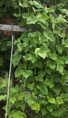 Our backyard bean trellis but you can create very fast and portable privacy screens from bamboo poles and pole beans