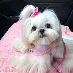 30 Trendy Ideas Dogs And Puppies Breeds Shih Tzu Perro Shih Tzu, Shih Tzu Hund, Baby Shih Tzu, Shih Tzu Puppy, Shih Tzus, Shitzu Puppies, Tiny Puppies, Cute Puppies, Cute Dogs