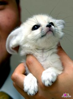 (Baby Fennec Fox) Oh my gosh! Get me this fox! It's so fluffy I'm gonna DIE!!!