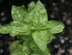 Quick Guide: Growing Basil Plants for Fresh Pesto