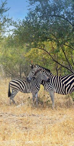 Zebra Love at Kruger National Park | Where to find the big 5 - The Ultimate Guide to Wildlife Safari in South Africa | via @Just1WayTicket | Photo © Sabrina Iovino