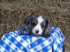 """Concho"" a 8 1/2 week old blue merle female Aussalier (Aussie & Cavalier) www.pinewoodcavapoos.com Find us on Facebook under Pinewood Kennels."
