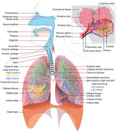 Physiology of the respiratory system: Pulmonary Ventilation, External Respiration, Internal Respiration, Transportation of Gases, Homeostatic Control of Respiration Respiratory System Anatomy, Respiratory Therapy, Lung Anatomy, Medical Anatomy, Eye Anatomy, Anatomy Study, Medical Coding, Medical Science, Engineering Science