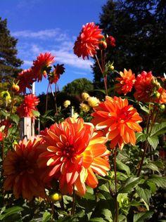 Volunteer Park Dahlia Garden in Seattle, WA