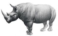 Dicerorhinus jeanvireti Guérin, 1972