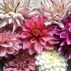 My name is Annie and I think I have a dahlia problem.