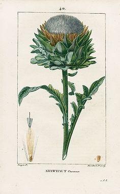 Turpin Botanical Prints 1815 - Artichoke