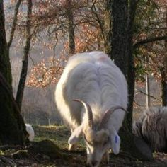 Grazing to improve abandoned land, clearing undergrowth in forests, chianti cashmere goats complementary graze with other animals to increase the quantity of pastures and are said to make great companions for donkeys and horses.