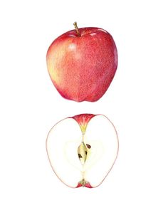 Gala Apple Archival print of my colored by SarahMellingDrawings