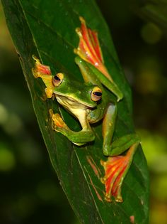 Rhacophorus malabaricus - the famous Malabar Gliding / flying frog is one of the most colorful frogs of the Western Ghats.