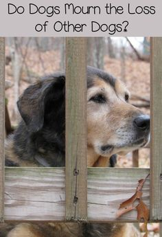 Do dogs mourn other dogs? How do you help your dog get past loss when you're dealing with it yourself? Read Maia's story of coping with Tasha's loss. Dog Grief, Coconut Oil For Dogs, Oils For Dogs, Pet Loss, Loss Of Dog, Dog Behavior, Dog Training Tips, Dog Care, Dog Toys