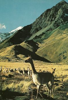 I knew I was always meant to go to Peru.  Here is another reason why...Vicuna, relative of the llama, in the mountains of Peru  National Geographic | January 1973.