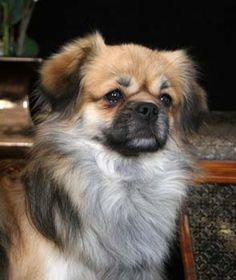 It's so cute! I used a website called whatdog.net, the result for me was a Tibetan Spaniel