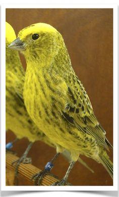 The Finch Farm - Birds For Sale - Bird Supplies - Pet Finches For Sale - finches - Bird Supplies Birds For Sale, Canary Birds, African Grey Parrot, Mundo Animal, Wild Birds, Dog Supplies, Pet Birds, Animals And Pets, Photos