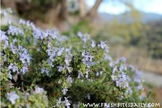 """Three ways to build your brain with rosemary (that do not require lounging in a rosemary field), plus a bonus """"pro tip""""   Fresh Bites Daily"""