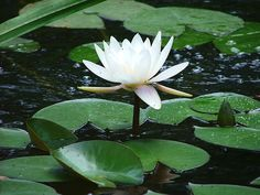Water Lily. PD