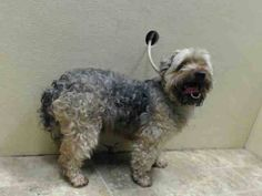 TO BE DESTROYED - 06/28/14  Brooklyn Center   My name is COCO LOPEZ. My Animal ID # is A1004331.  I am a male tan and gray yorkshire terr and poodle min mix. The shelter thinks I am about 3 YEARS old.    OWNER SUR on 06/23/2014  MOVE2PRIVA. Volunteers says: He walks calmly on the leash, friendly, did okay meeting helper dog! This boy lost his family as they were moving. Give him the 2nd chance for a home!