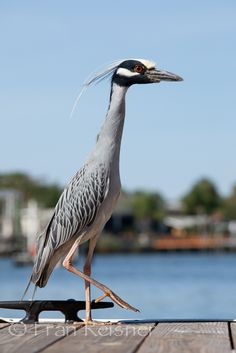 Yellow-crowned Night Heron, Crystal River