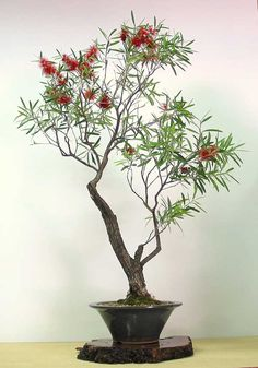 Callistemon viminalis - Australian Native Plants as Bonsai