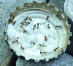 Getting rid of ants in the garden.  Ants feasting on powdered sugar mixed with borax  water!  This works. They take the borax back to all the ants and when they ingest it. It kills them.