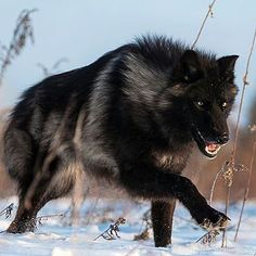 Black Timber Wolf | Photography by @conradtanphotography  #WildlifePlanet                                                                                                                                                                                 More