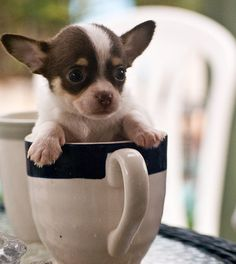 tea cup Chihauhau - what our dog Pip must have looked like as a puppy