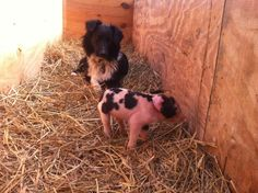 Mary the dog and Pancake the piglet at Essex Farm (Credit: Kristin Kimball)