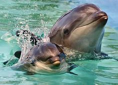 wholphin - false killer whale & bottlenose dolphin hybrid