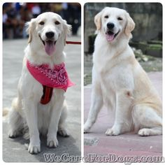 How to improve and thicken your dog's coat? I got the answer!  #dogfur #dogcoat #doghair #dogs #goldenretriever #mhershey