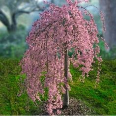 "Quoted by previous pinner ""Pink Weeping Cherry Tree -memory garden- I love this, planted one to remind me of my father... With forget me nots and Jacobs tears.."""