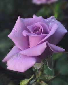 Purple sweetheart rose that smells so sweet. Beautiful Rose Flowers, Love Rose, Flowers Nature, Amazing Flowers, Lavender Roses, Purple Roses, Rose Flower Pictures, Hybrid Tea Roses, Rose Bush